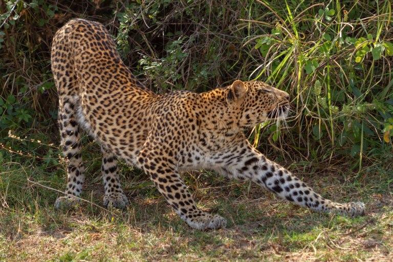 Leopard-4