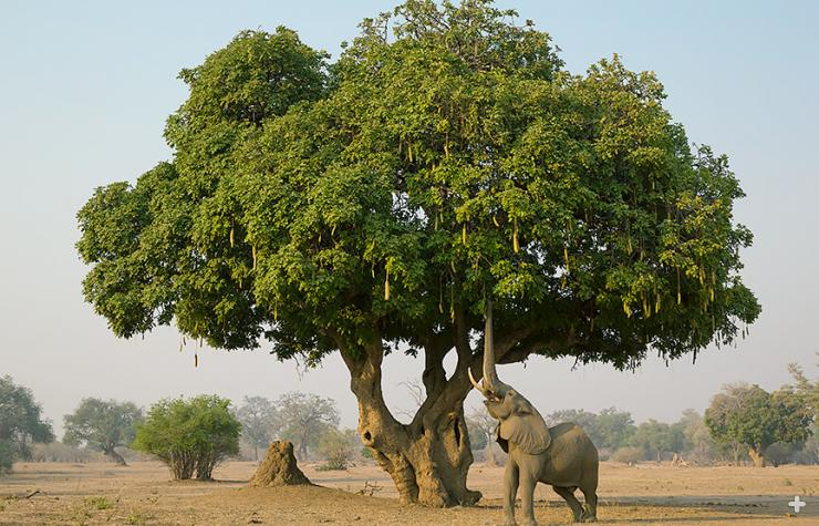 Getting chased up a sausage tree by anelephant