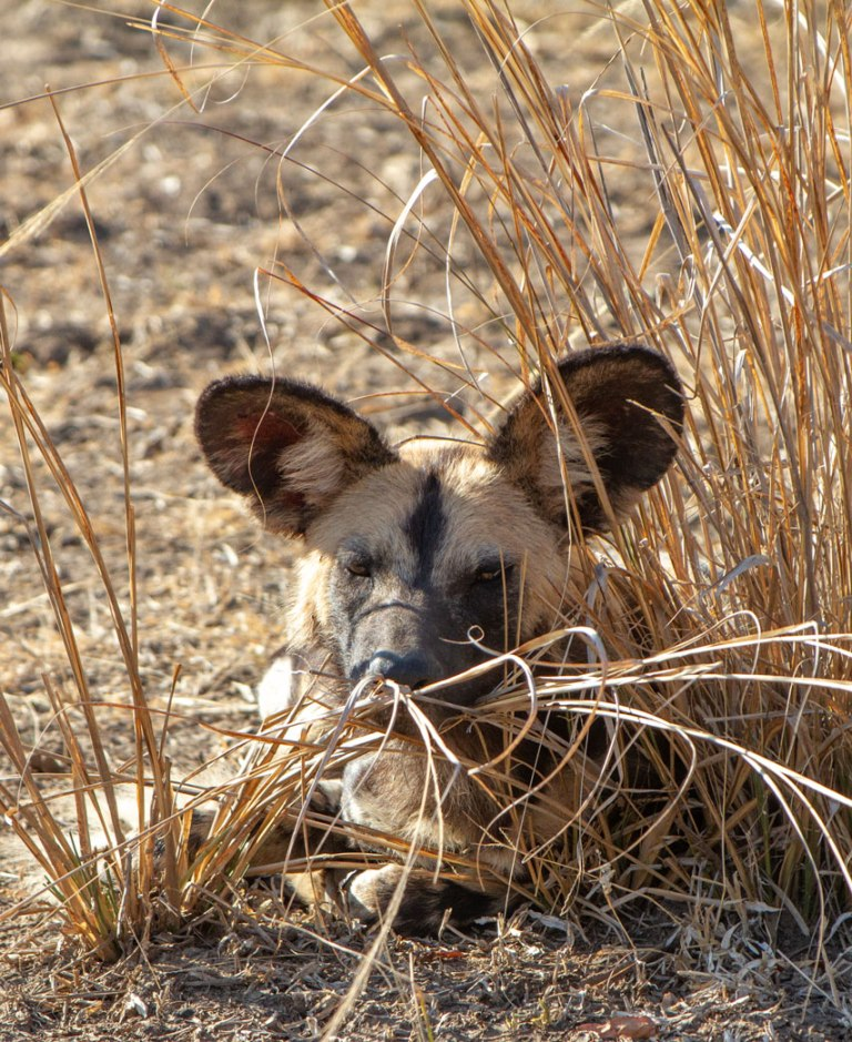 wild-doggo